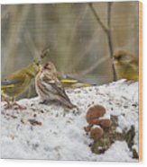 Give Me A Kiss. Redpolls And Greenfinches Wood Print