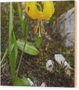 Glacier Lily 1 Wood Print