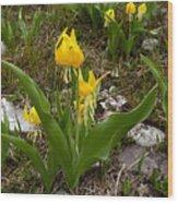 Glacier Lily 3 Wood Print