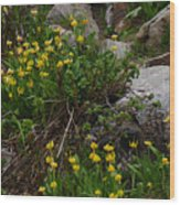 Glacier Lily 4 Wood Print