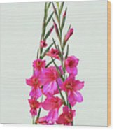 Gladioli Byzantinus In Love Wood Print