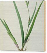 Gladiolus Cardinalis Wood Print