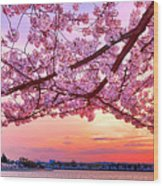 Glorious Sunset Over Cherry Tree At The Jefferson Memorial  Wood Print