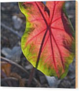 Glowing Coladium Leaf Wood Print