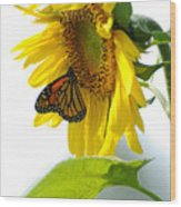 Glowing Monarch On Sunflower Wood Print