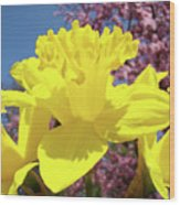 Glowing Yellow Daffodils Art Prints Pink Blossoms Spring Baslee Troutman Wood Print