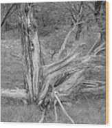 Gnarled Cedar Stump Wood Print