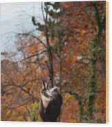 Goat In The Austrian Alps Wood Print