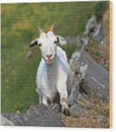 Goat Posing Wood Print