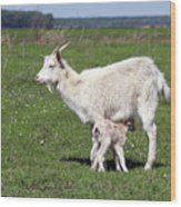 Goat With Just Born Little Goat Spring Scene Wood Print