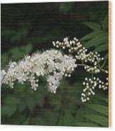 Goat's Beard Bush White Bloom Wood Print