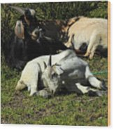 Goats Lying Under A Bush Wood Print