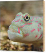 Pink Spotted Watchman Goby Wood Print