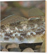 Goby Fish Wood Print
