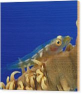 Goby On Wire Coral Wood Print