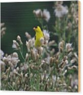 Gold Finches-12 Wood Print