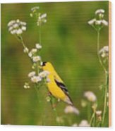 Gold Finches-3 Wood Print