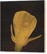Golden Bells Carpet Daffodil With Black Background Wood Print