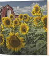 Golden Blooming Sunflowers With Red Barn Wood Print