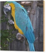 Golden Blue Macaw Wood Print