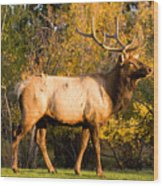 Golden Bull Elk Portrait Wood Print
