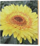 Golden Gerbera Daisy Wood Print