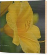 Golden Lily 18-2 Wood Print