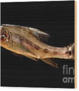 Golden Line Barbel Wood Print