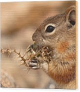 Golden-mantled Ground Squirrel Eating Prickly Spine Wood Print