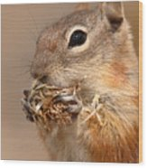 Golden-mantled Ground Squirrel Nibbling On A Bite Wood Print