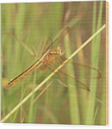 Golden Marsh Dragonfly Wood Print