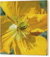 Golden Poppy Expose Wood Print