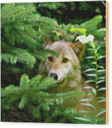 Golden Red Wolf Wood Print by Debra     Vatalaro