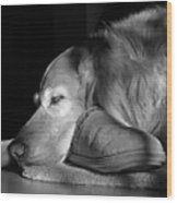 Golden Retriever Dog With Master's Slipper Black And White Wood Print by Jennie Marie Schell