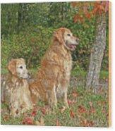 Golden Retriever Dogs In Autumn Wood Print