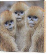 Golden Snub-nosed Monkey Rhinopithecus Wood Print