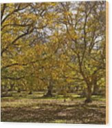 Golden Walnut Orchard II Wood Print