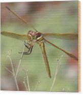 Golden-winged Skimmer Wood Print