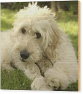 Goldendoodle Puppy And Stick Wood Print by Anna Lisa Yoder