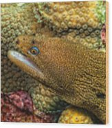 Goldentail Moray Wood Print