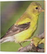 Goldfinch In The Early Morning  Wood Print
