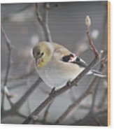 Goldfinch In Winter Wood Print