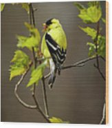 Goldfinch Suspended In Song Wood Print