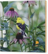 Goldfinch Visiting Coneflower Wood Print