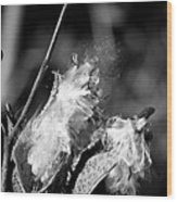 Gone To Seed Milkweed 2 Wood Print