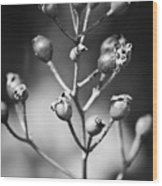 Gone To Seed Rose Hips Wood Print