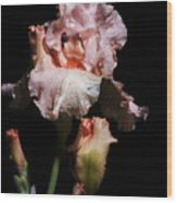 Goodnight Kiss Iris  Wood Print