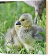 Goose Chick Wood Print