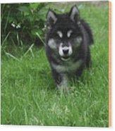 Gorgeous Alusky Puppy Dog Creeping Through Grass Wood Print
