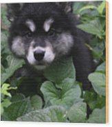 Gorgeous Alusky Puppy Playing Hide And Seek  Wood Print